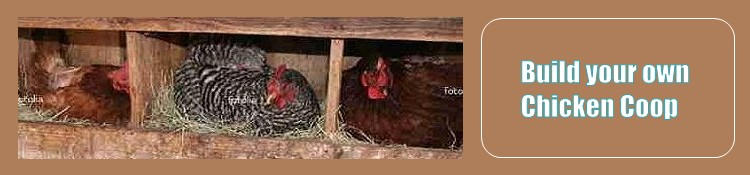 nesting in the chicken coop